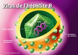 Virus hépatite B